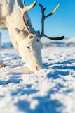 Reindeer in Northern Norway Stock Photography