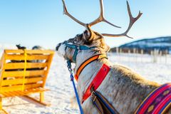 Reindeer in Northern Norway Royalty Free Stock Images