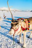 Reindeer in Northern Norway. Close up of reindeer pulling a sledge Northern Norway on sunny winter day royalty free stock photos