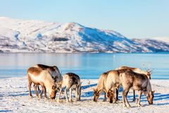 Reindeer in Northern Norway. With breathtaking fjords scenery on sunny winter day Royalty Free Stock Image