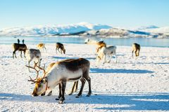 Reindeer in Northern Norway. With breathtaking fjords scenery on sunny winter day Royalty Free Stock Photography