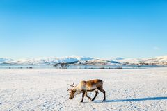 Reindeer in Northern Norway Stock Image
