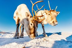 Reindeer in Northern Norway. On sunny winter day Stock Photos