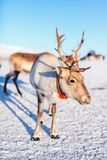Reindeer in Northern Norway. On sunny winter day stock photo