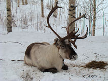 Reindeer. Northern reindeer resting on the snow between birch trees on the slope of hill Stock Image