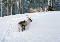 Reindeer in northern Sweden Stock Images