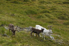 Reindeer in Norway Stock Photos