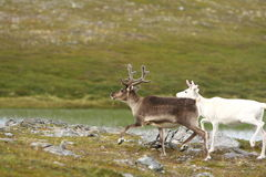 Reindeer in Norway Stock Image