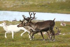 Reindeer in Norway royalty free stock photo