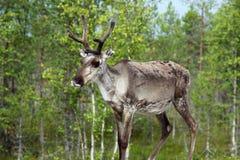 Reindeer in Norway Royalty Free Stock Photos