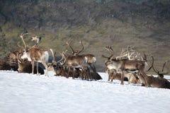 Reindeer in Norway Stock Photos