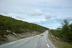 Reindeer in Norway Stock Image