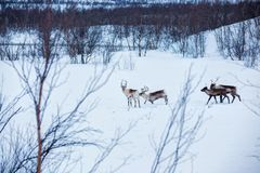 Reindeer. Norway, Scandinavia Stock Images