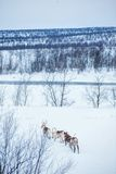 Reindeer. Norway, Scandinavia Stock Image