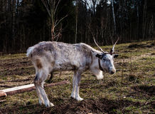 Reindeer in the paddock on the farm. Royalty Free Stock Image