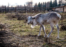 Reindeer in the paddock on the farm. Royalty Free Stock Images