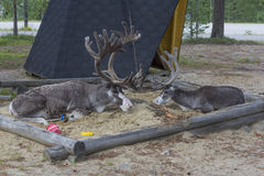 Reindeer. Playing on children's sandbox in Finnish Lapland royalty free stock image