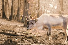 Reindeer polar in forest in winter with gold sunshine stock photography