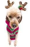 Reindeer Poodle Stock Photos