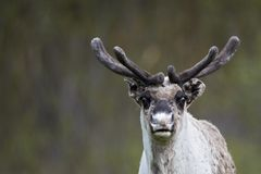 Reindeer portrait Royalty Free Stock Photography