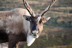 Reindeer portrait royalty free stock photos
