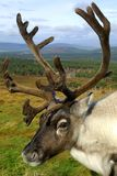 Reindeer portrait. Head and shoulders portrait of a reindeer in a mountain setting stock image