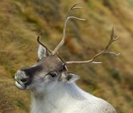 Reindeer portrait. Head and shoulders portrait of a reindeer in a mountain setting royalty free stock images