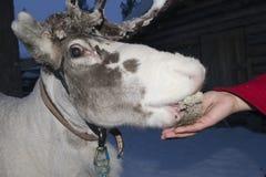 Reindeer portrait in winter snow time Stock Photos