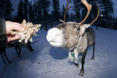 Reindeer portrait in winter snow time Stock Photography