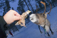 Reindeer portrait in winter snow time Royalty Free Stock Photos