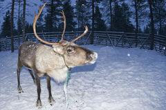 Reindeer portrait in winter snow time Stock Image