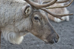 Reindeer portrait in winter time Royalty Free Stock Image