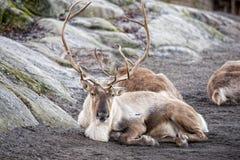 Reindeer portrait in winter time Stock Photo