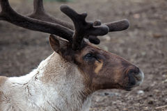 Reindeer Profile Stock Photos