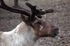 Reindeer Profile. A profile portrait of a Reindeer Head Stock Photos