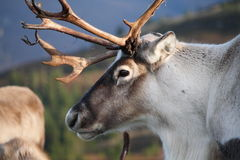 Reindeer profile royalty free stock photos
