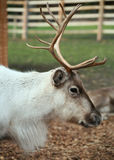 Reindeer profile head and antlers. The reindeer (Rangifer tarandus), also known as the caribou when wild in North America, is an Arctic and Subarctic-dwelling Royalty Free Stock Photos