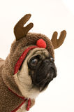Reindeer Pug. Isolated Against White Background Royalty Free Stock Photography