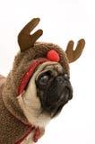 Reindeer Pug Stock Photos