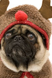 Reindeer Pug. Isolated Against White Background Stock Photos