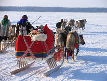 Reindeer pulling sleds. National holiday. Royalty Free Stock Image