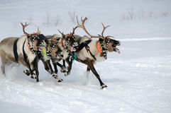 Reindeer race Royalty Free Stock Photos