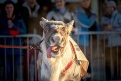 The Reindeer Racing Championship - Tromso 11. februar. 2018 - Tourist attraction - Saami sport.  Stock Photos