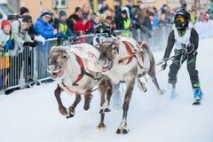 The Reindeer Racing Championship - Tromso 11. februar. 2018 - Tourist attraction - Saami sport.  Royalty Free Stock Photos