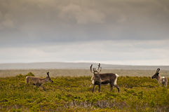 Reindeer (Rangifer tarandus) Royalty Free Stock Images