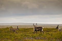 Reindeer (Rangifer tarandus) Royalty Free Stock Images