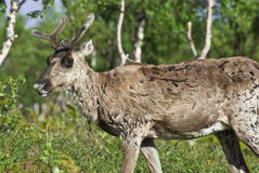 Reindeer (Rangifer tarandus) Royalty Free Stock Photography