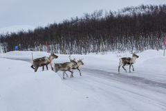 Reindeer (Rangifer tarandus) Stock Photography