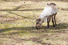 Reindeer, Rangifer tarandus eating grass Stock Image