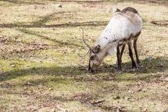 Reindeer, Rangifer tarandus eating grass Stock Image